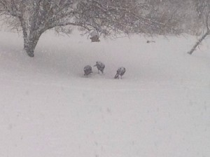 Turkeys before whiteout